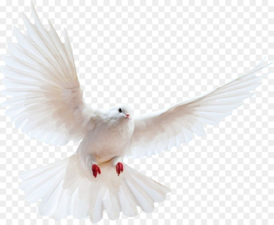 Domestic pigeon Columbidae Bird   Flying Bird Transparent ...