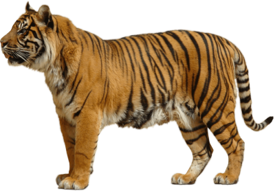yellow-tiger