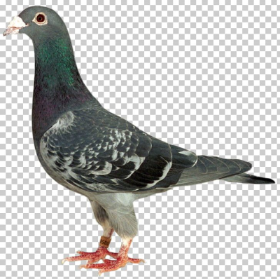 Stock Dove Racing Homer Homing Pigeon Columbidae Bird PNG, Clipart ...
