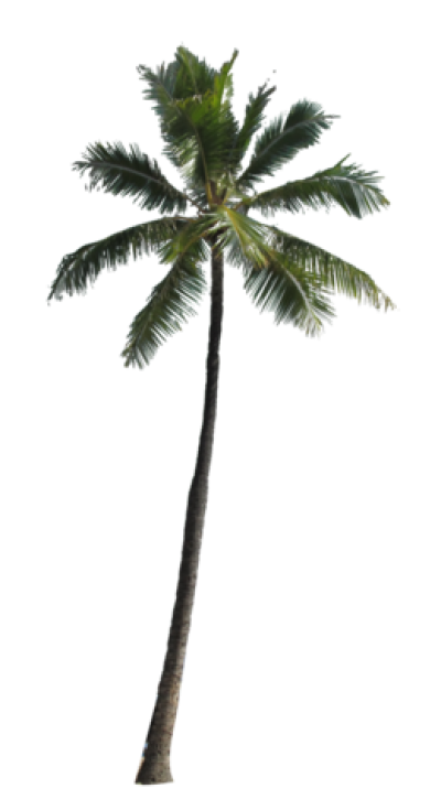 File:Palm Tree PNG Image.png