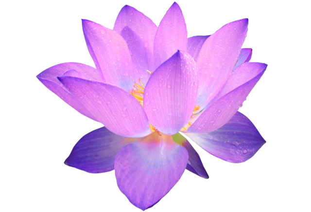 Download Free Png Filepurple Lotus Flowerpng Dlpngcom