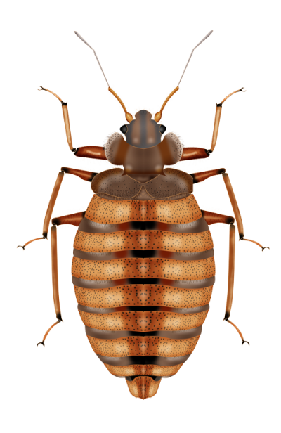 Bed Bug Image Free HD Image