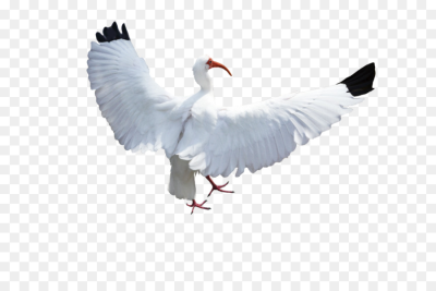 Bird Columbidae Crane Flight   birds png download   1098*727 ...