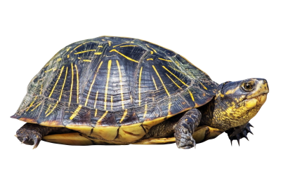 Turtle PNG Transparent