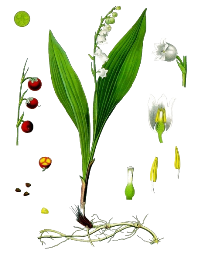 Lily Of The Valley Transparent Image