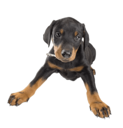 doberman-puppy