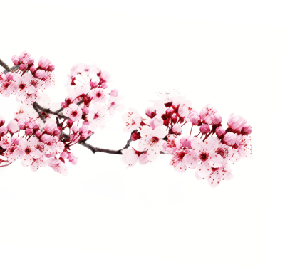 Japanese Flowering Cherry Picture PNG Download Free