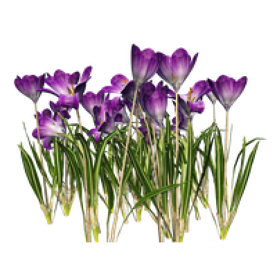 Crocus File