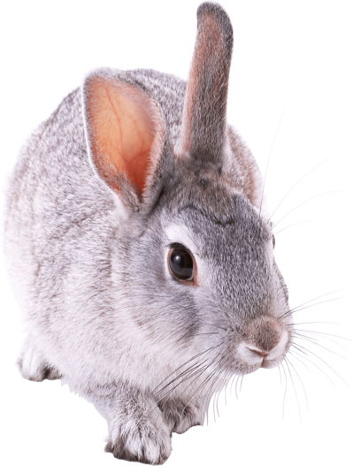 gray-rabbit-walking
