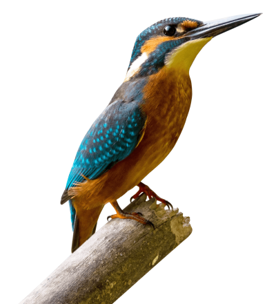 kingfisher-bird