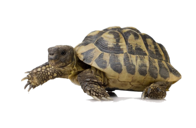 Box Turtle PNG Pic