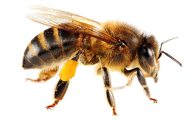 Bee HD PNG Transparent Bee HD.PNG Images. | PlusPNG