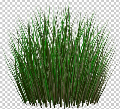 Grasses Lawn Ornamental Grass Fountain Grass PNG, Clipart ...