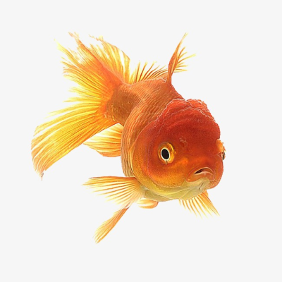 Goldfish, Ornamental Fish, Fish, Creative Goldfish PNG Image and ...