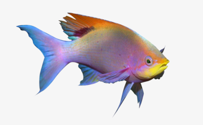 Tropical Fish, Fish Clipart, Color, Ornamental Fish PNG ...
