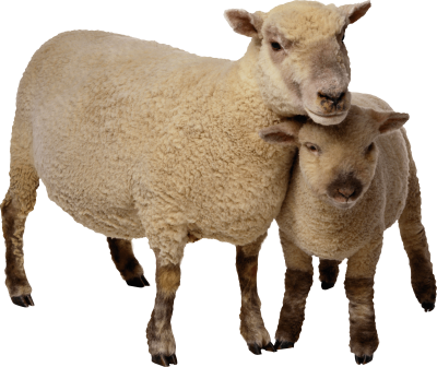 Sheep Png Image