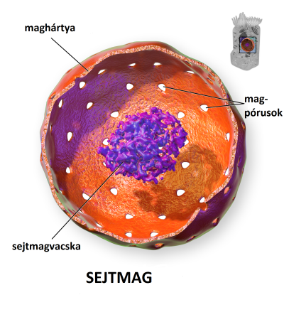 File:Cell nucleus-hu.png - Wikimedia Commons