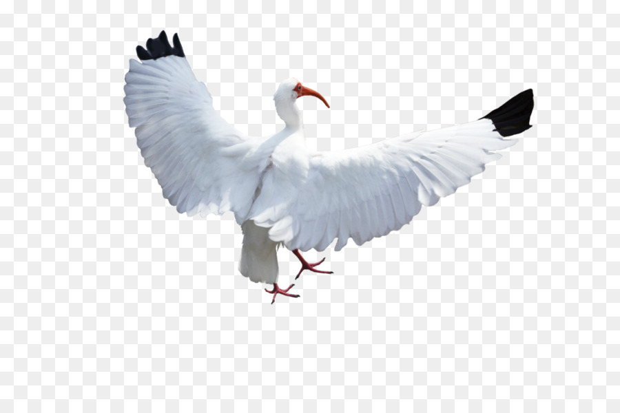 Bird Columbidae Crane Flight - birds png download - 1098*727 ...