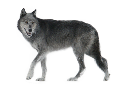 Gray Wolf PNG HD Transparent Gray Wolf HDPNG Images | DLPNG