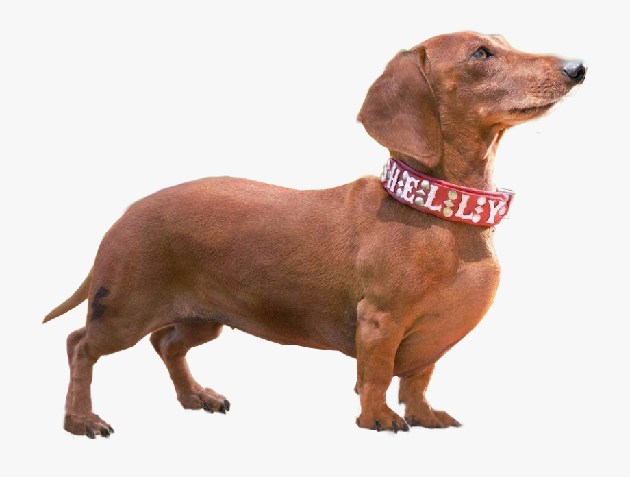 Dachshund Breed Companion Wiener Nationals Walking - Wiener Dog ...