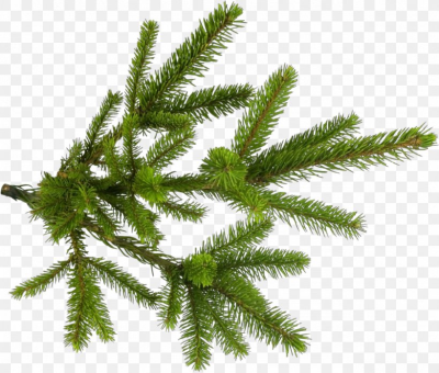 Shortleaf Black Spruce Yellow Fir Tree Canadian Fir Plant, PNG ...