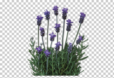 English lavender Lavandula dentata French lavender Plant Lamiaceae ...