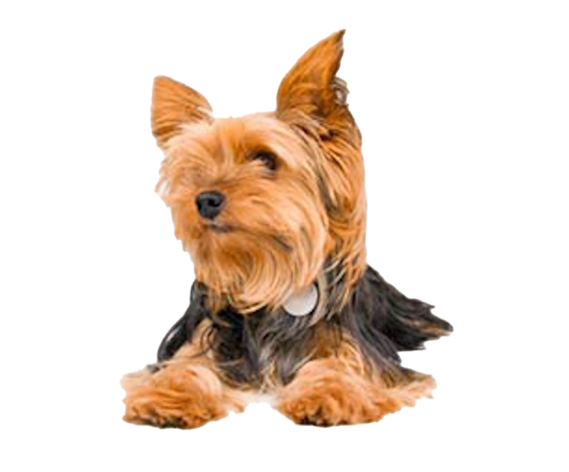 Yorkshire Terrier PNG