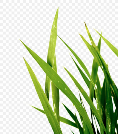 Sweet Grass Wheatgrass Plant Stem Commodity Leaf, PNG, 1150x1308px ...
