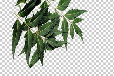 Leaf Neem Tree Neem Oil Plant PNG, Clipart, Anthelmintic ...