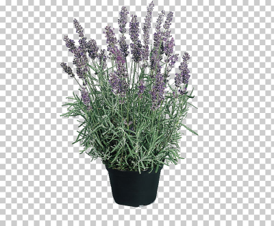 English lavender Hidcote Manor Garden Perennial plant Seed Flower ...