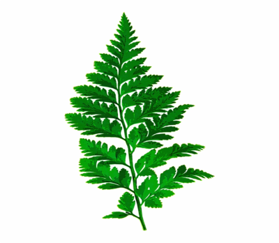 Fern, Leaf, Nature, Green, Leaves, Plant, Forest - Transparent ...