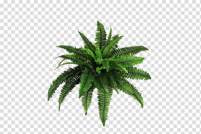 Green fern plant art, Plant Shrub Fern , fern transparent ...