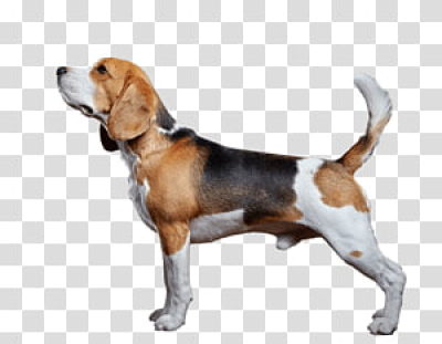 Beagle transparent background PNG cliparts free download | HiClipart