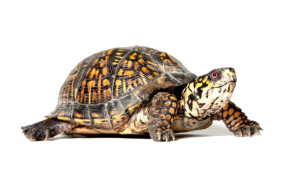 Box Turtle PNG File