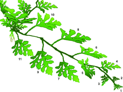 Details of the watermelon plant branch showing the leaves used as ...