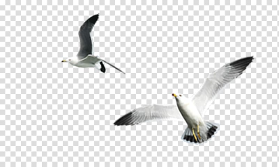Gulls Bird , White Gull transparent background PNG clipart | HiClipart