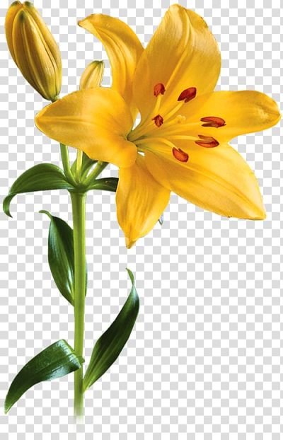 Lilium Flower , Lily transparent background PNG clipart | HiClipart
