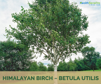 Himalayan Birch facts and health benefits