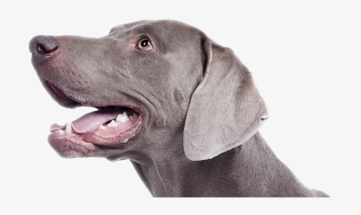 Melbourne Dog Walkers - Weimaraner PNG Image | Transparent PNG ...