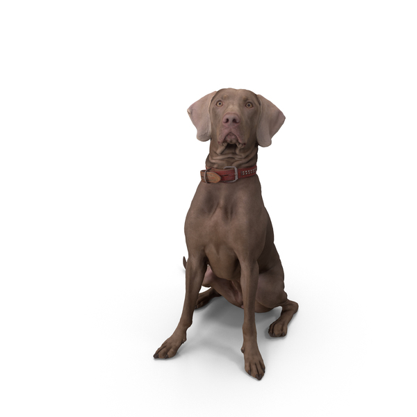 Weimaraner Dog Sitting PNG Images & PSDs for Download | PixelSquid ...