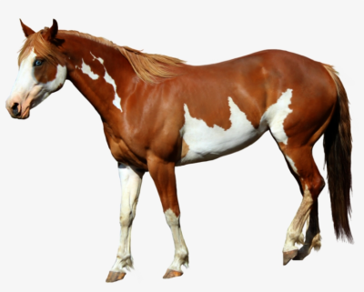 Beautiful Horses Transparent Photo - Standing Horse Png PNG Image ...