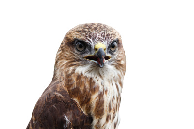 Buzzard Bird Raptor Of - Free photo on Pixabay