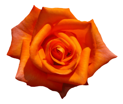 orange-rose-flower-top-view