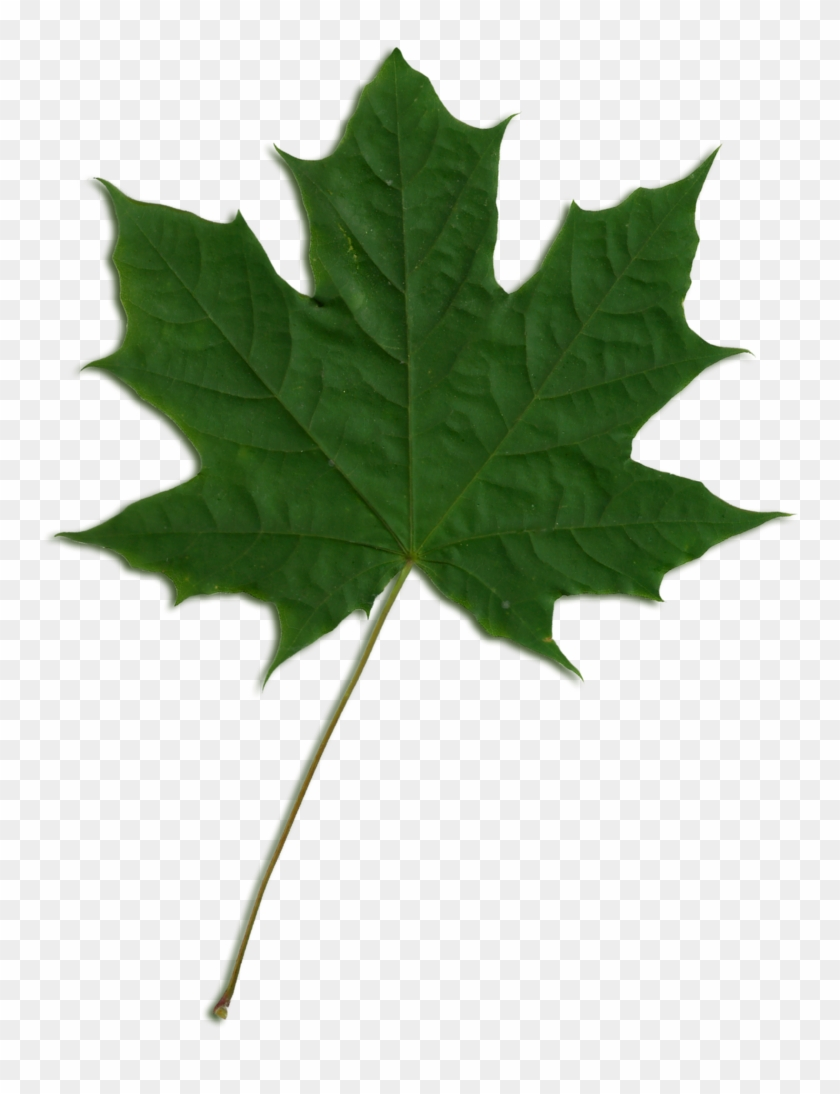 Acer Scanned Leaf - Green Maple Leaf Png Clipart (#96183) - PikPng