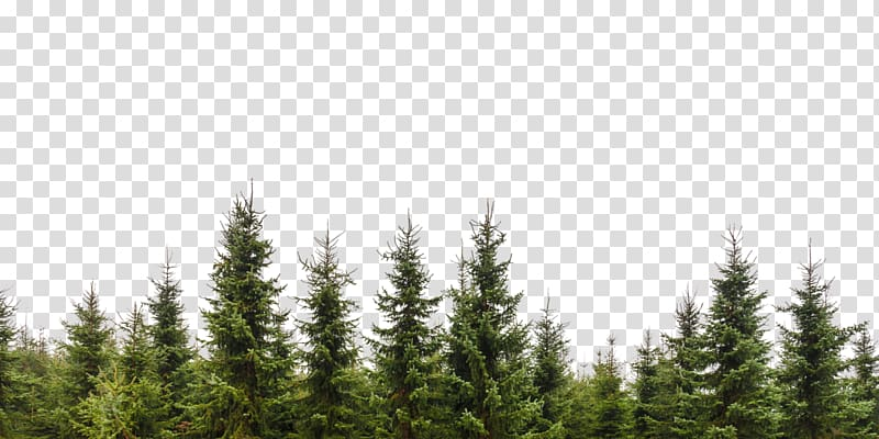 Tree Evergreen Conifers Forest Branch, tree transparent background ...