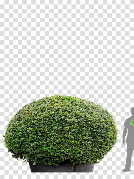 Hedge English Yew Tree Japanese holly Topiary, tree transparent ...