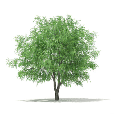 3D White Willow Salix alba 13m | CGTrader