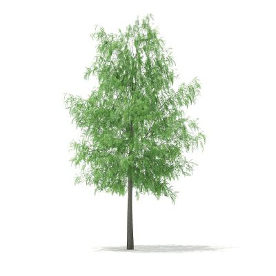 White Willow Salix alba 11m 3D | CGTrader