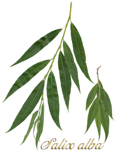 File:Salix alba scanned leaves2.png - Wikimedia Commons