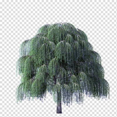 Weeping willow Weeping Golden Willow Salix nigra Salix alba Tree ...